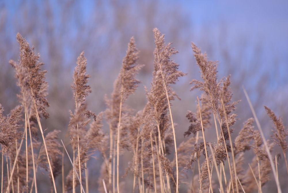 Reeds by BigDibbs