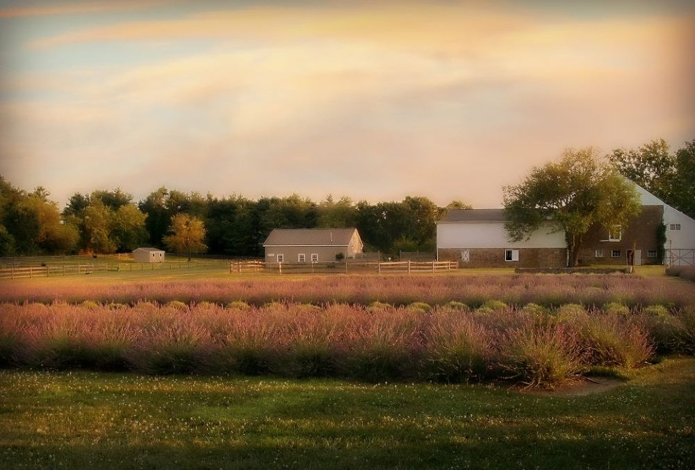 Farmhouse-  Carousel, Lavender Farm. New Hope Pa. by valsvisions