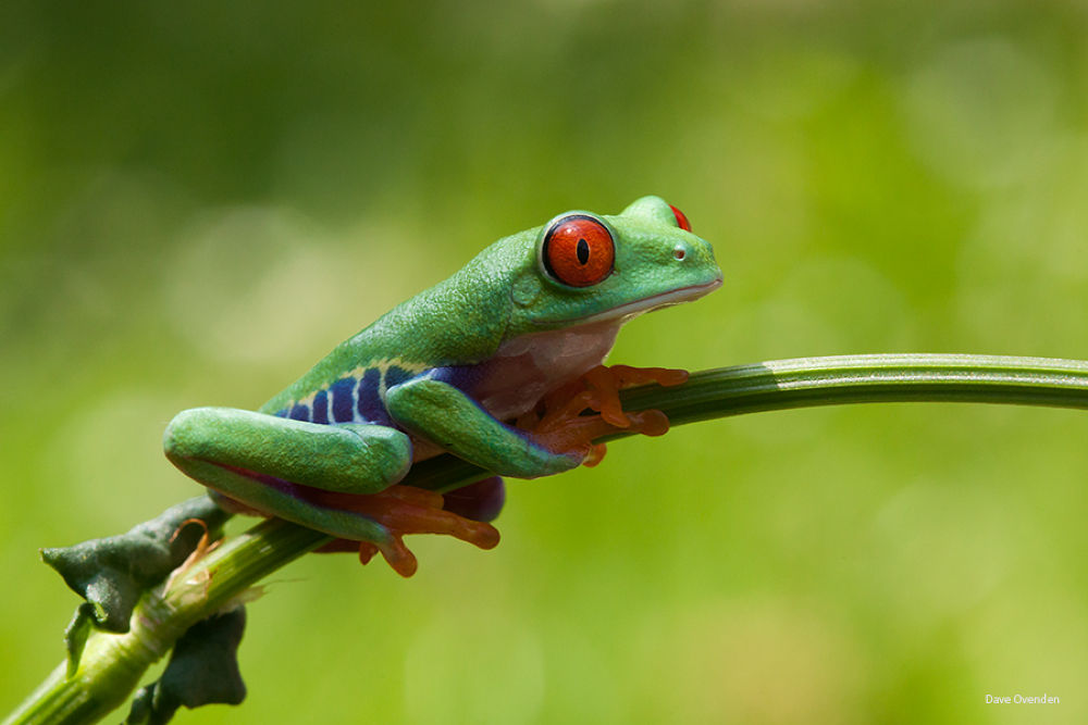 Red-Eyed tree frog by DaveOvenden
