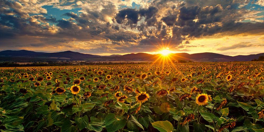 Photo in Landscape #landscape #sunset #slovakia #sunflowers
