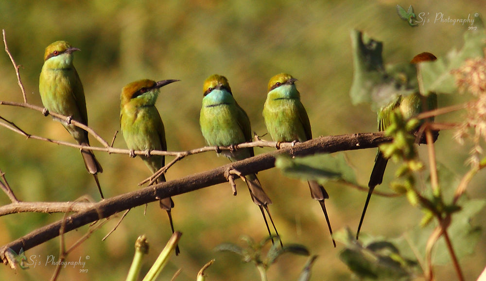 The Green Bee-eater (Merops orientalis) by Shreyas Jain