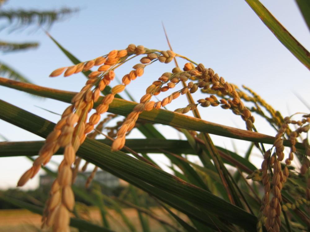 Photo in Random #rice