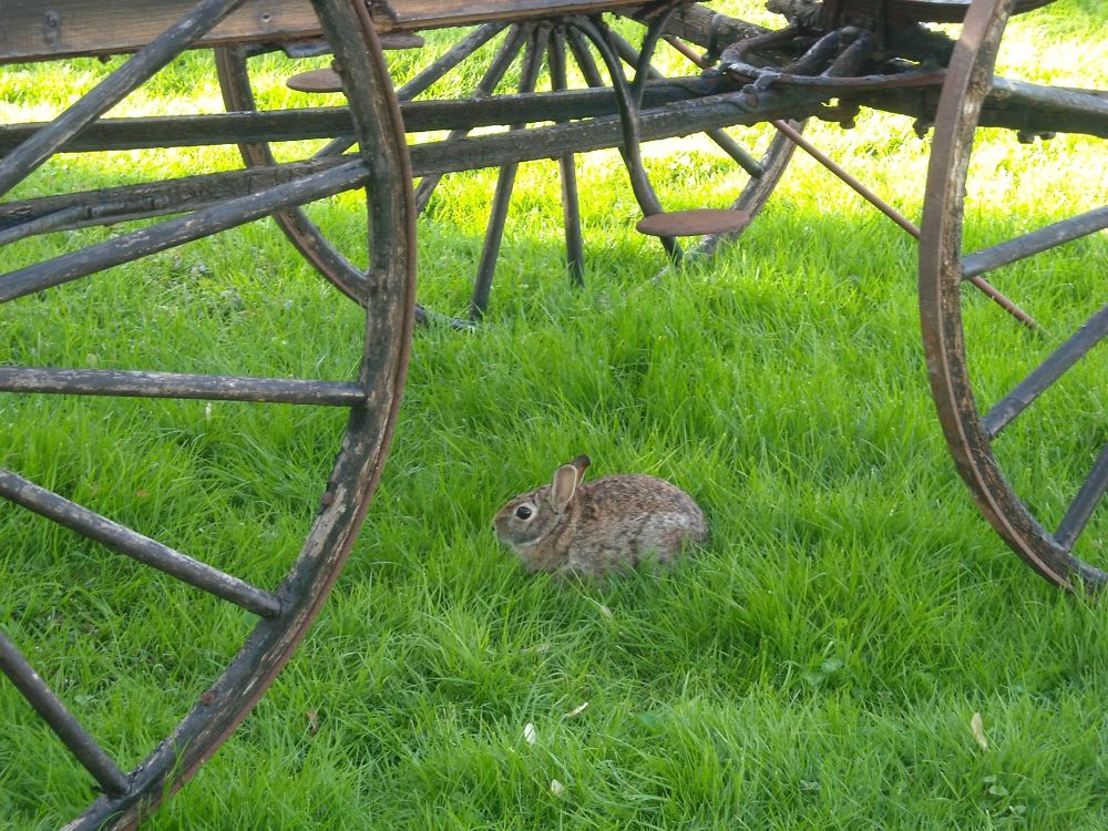 bunny under wagon. Loudonville by mbbenfield