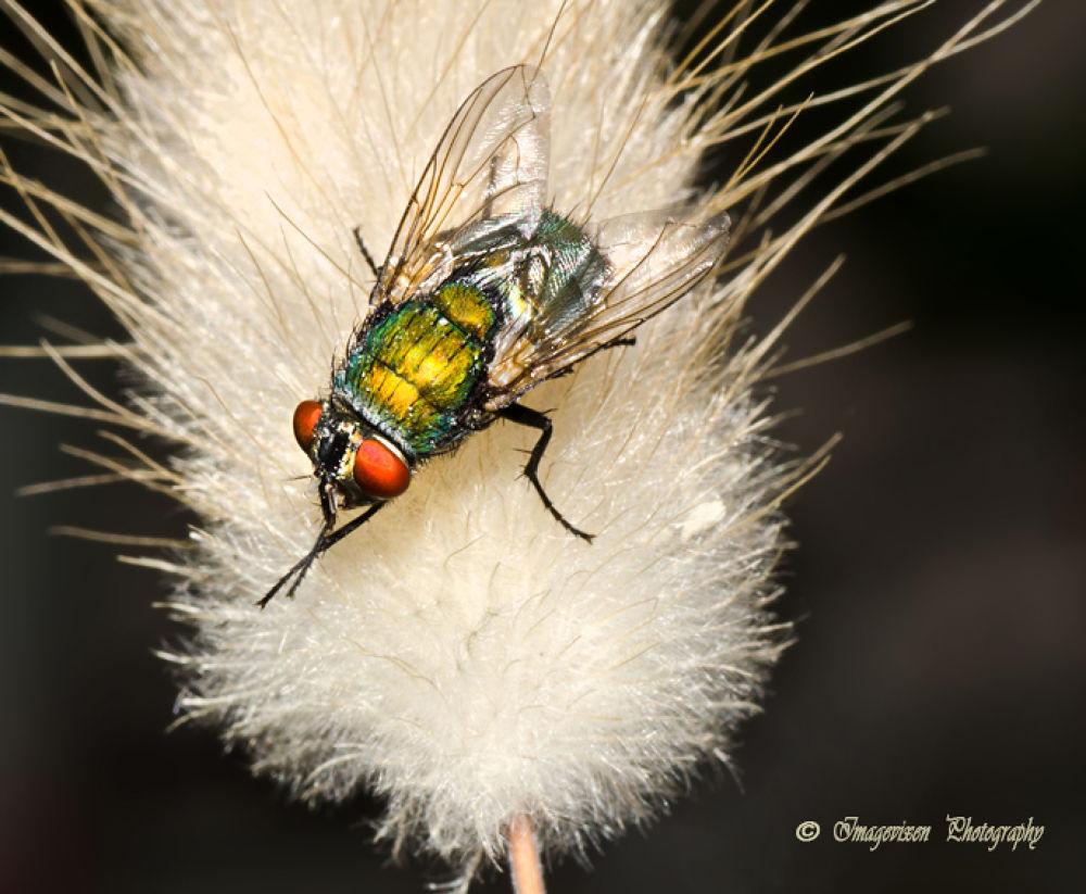 Blow fly by Imagevixen