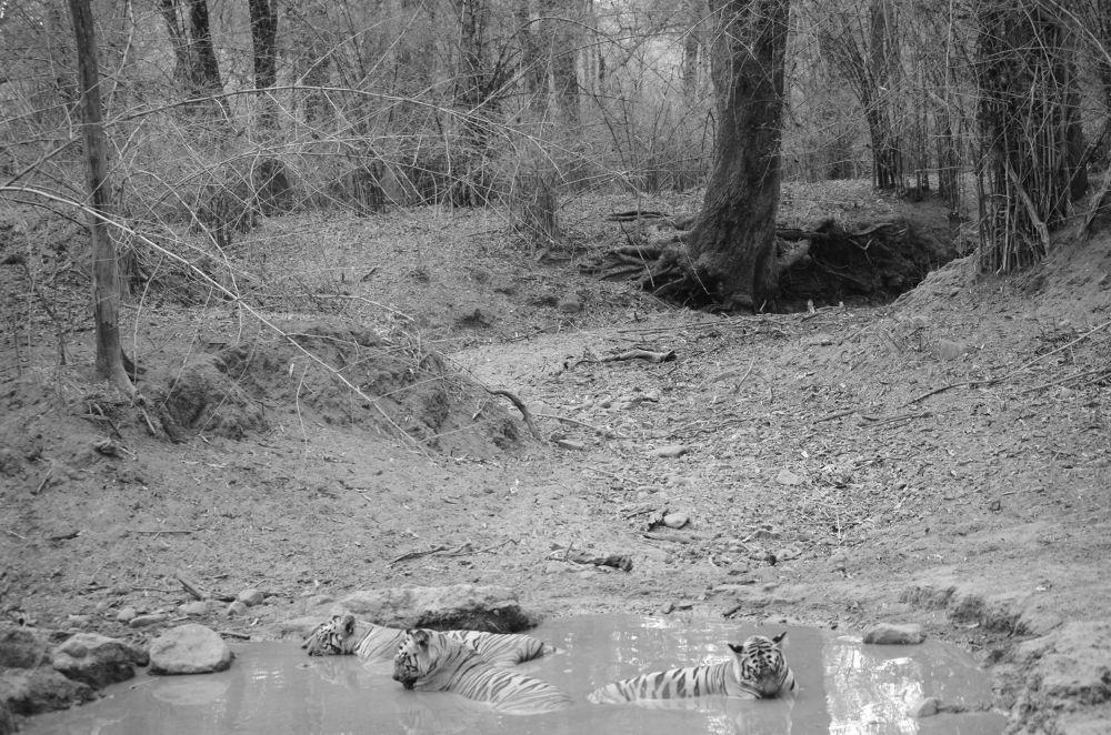 Photo in Animal #tiger #india #safari