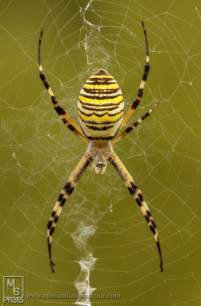 argiope by MAX50D