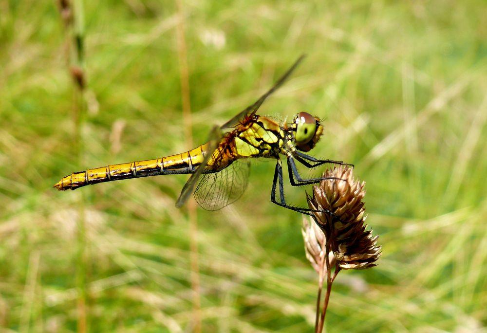 Dragonfly by Brandal
