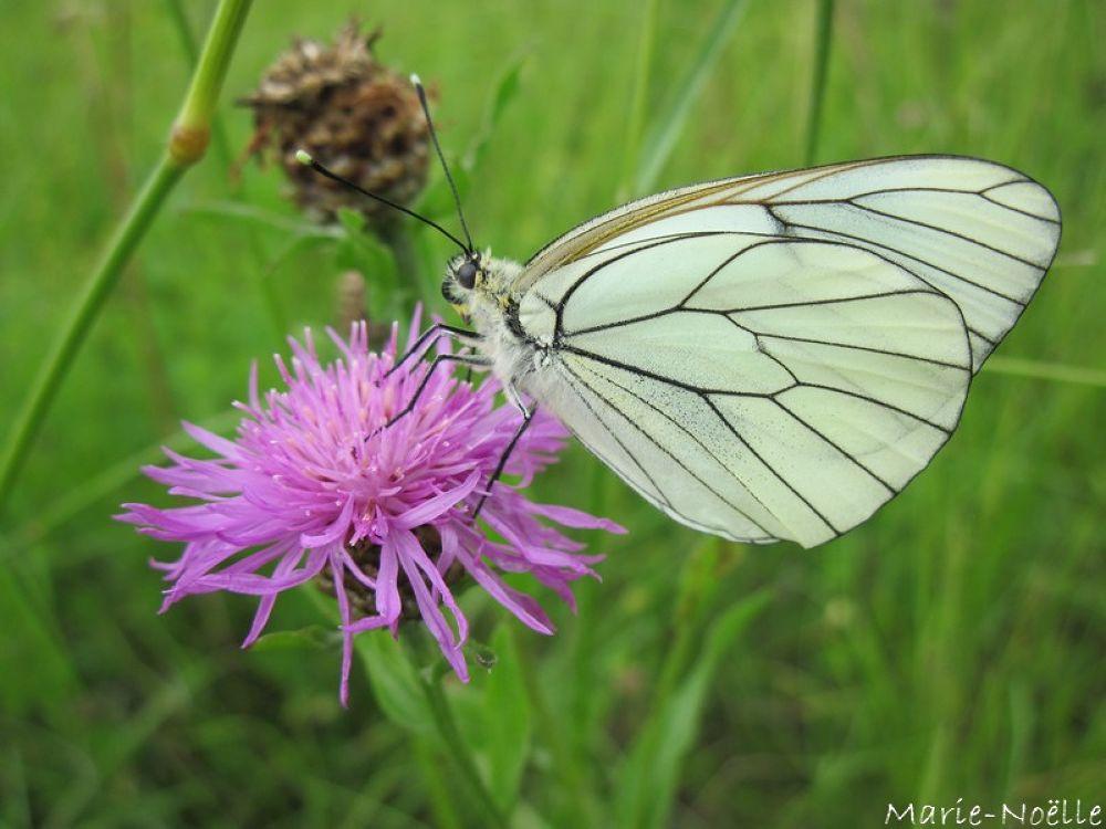 papillon by MarieNoelle