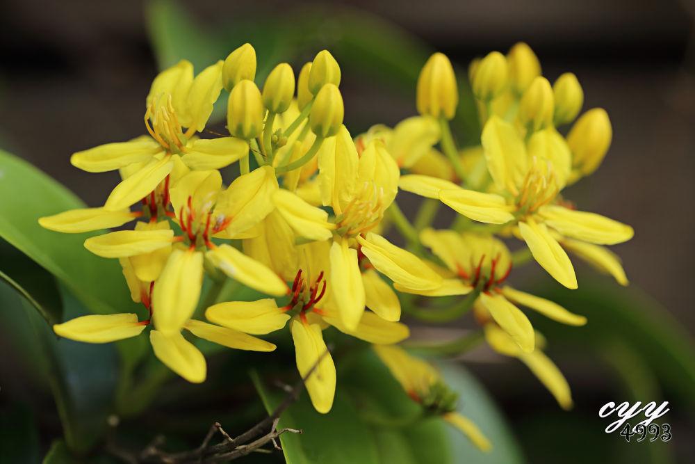 Rain Of Gold [Malpighiaceae] Galphimia Gracilis 金虎尾花 by cyy4993