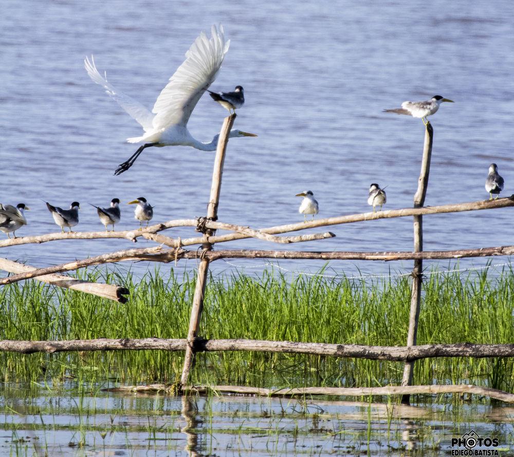 Great Egret by ediegobatista