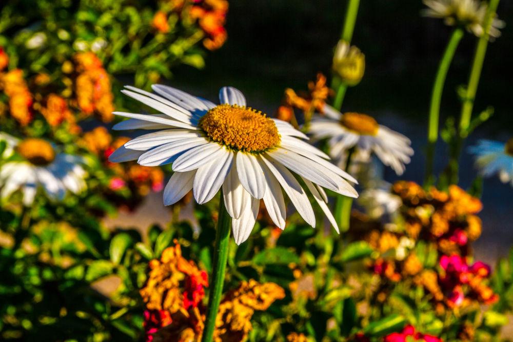 Daisy by fatihesen