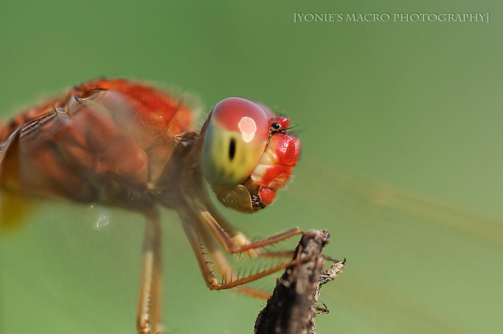 Dragonfly by yoniearliandisetiyawan