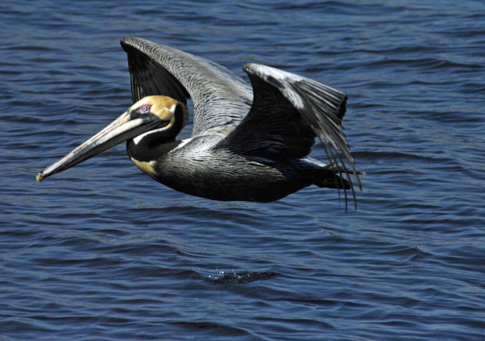 03-26-2012 - Pelican in Flight at San Roc Cay Marina - Orange Beach, AL #7565 by rnspicer