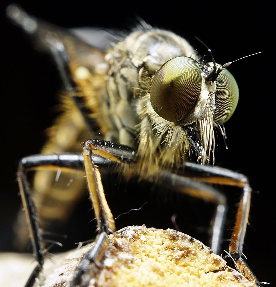 ROBBER FLY by tamz