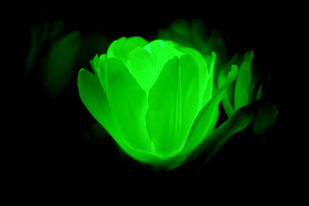 Glowing Tulip by Dennis Graversen