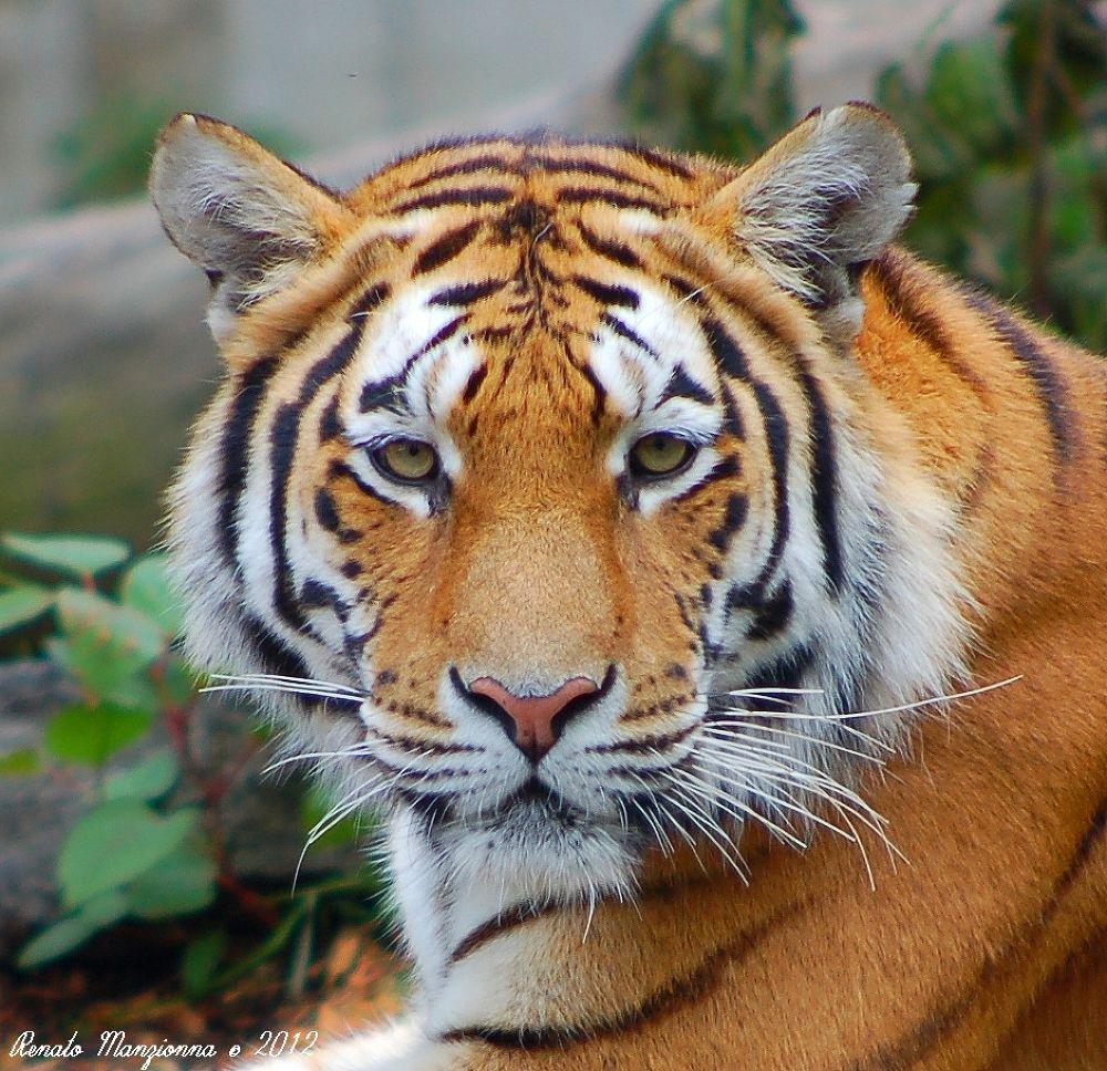 Tiger_01 by Renato Manzionna