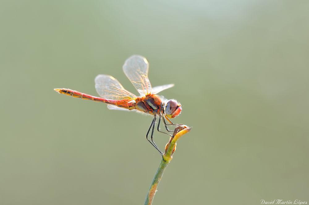 Photo in Macro #blue #dragonfly #azul #red #libélula #rojo #sympetrum fonscolombii