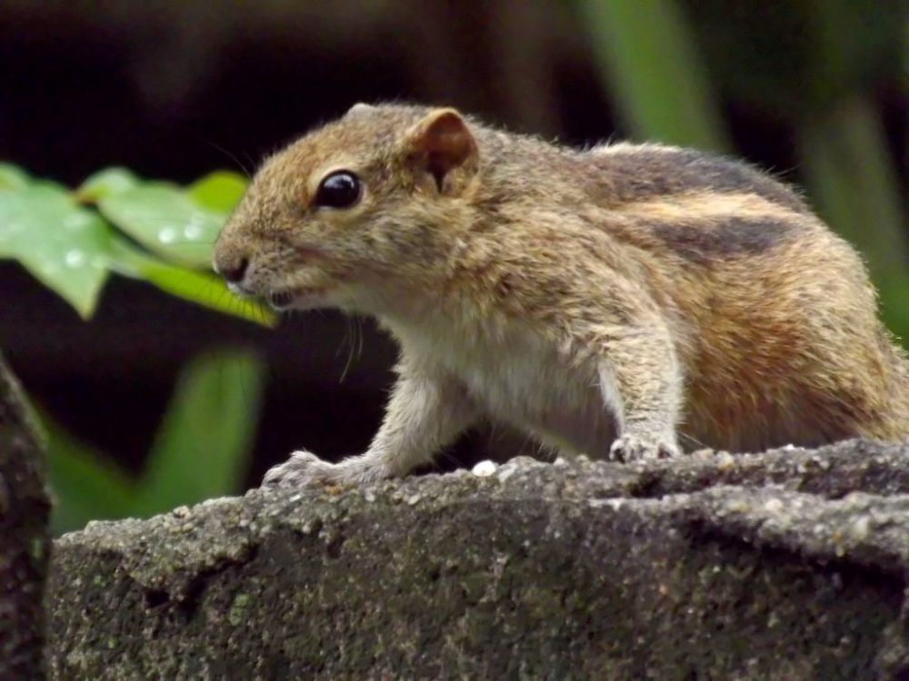 palm squirrel by Chris Roughley