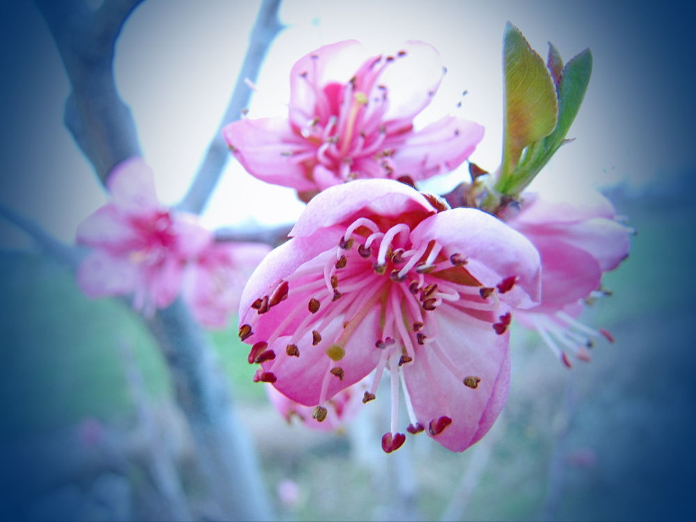 Peach's flower by ShumenBulgaria