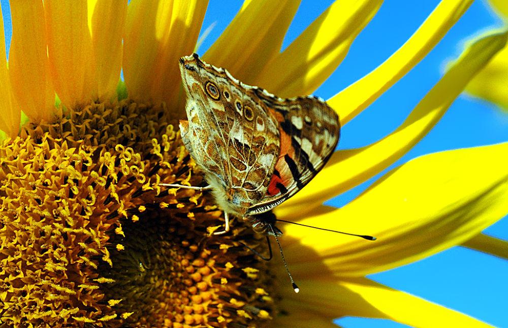 Sunflower by shobin3339