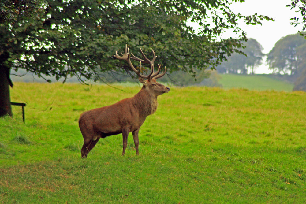 stag by jeff