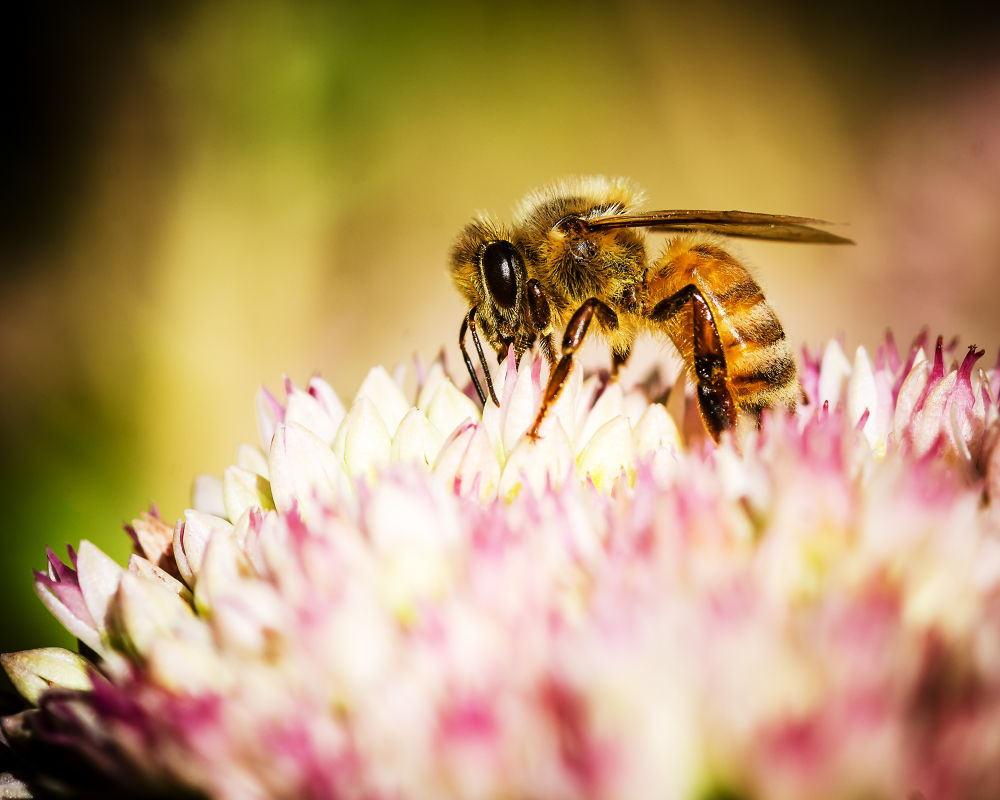 Honey Bee by mwbergeron01