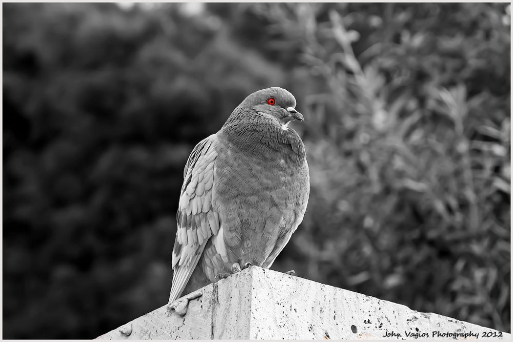 PIGEON by JohnVagios