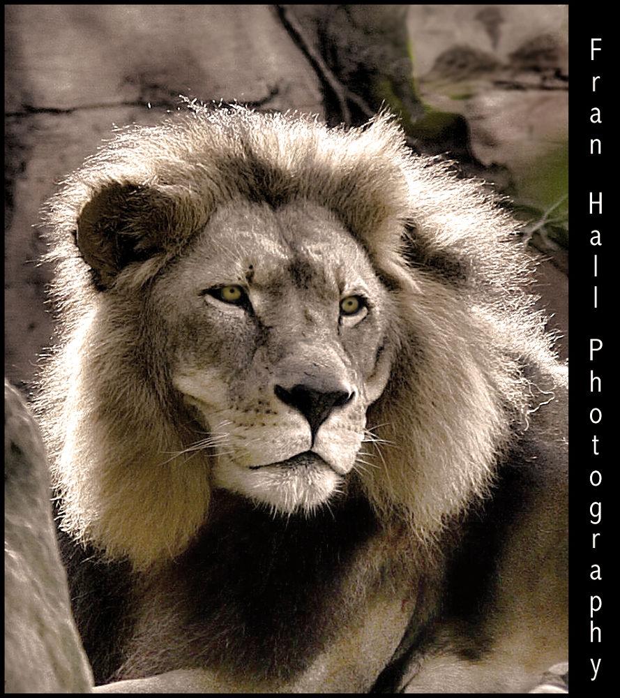 1 lion by Fran7909