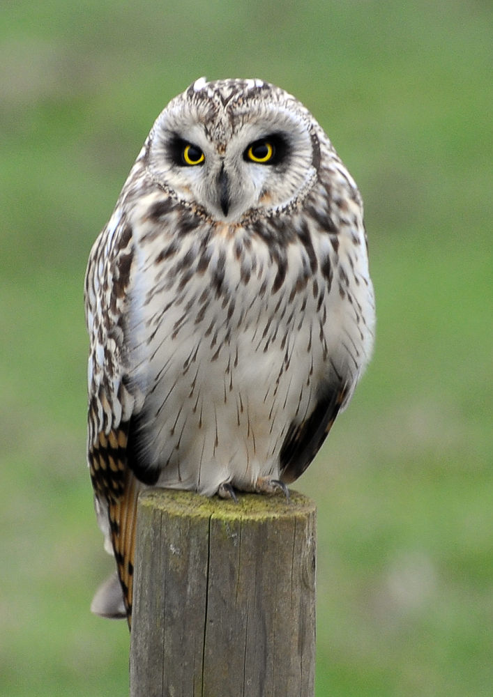 Short Eared Owl by David Pearson