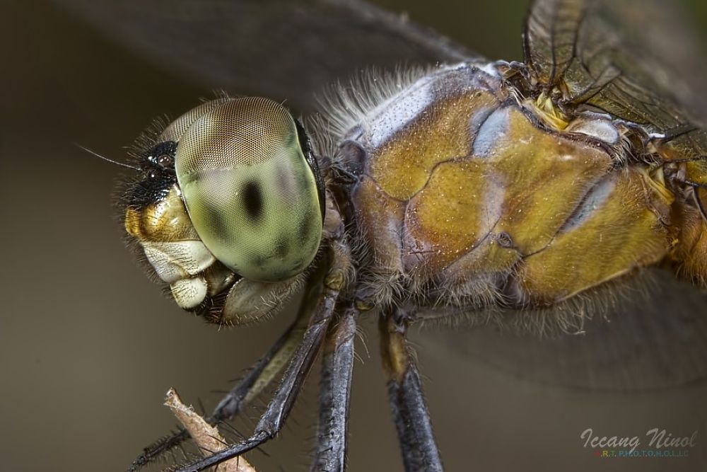 Dragon Fly Side view by iccang