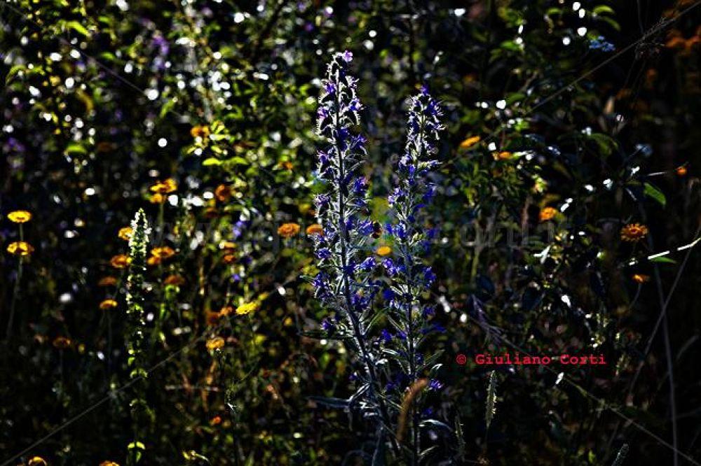 L'ape - il-fiore mg-4890 by Giuliano_Corti