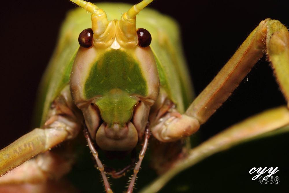 Katydid [Tettigoniidae] 螽斯 by cyy4993