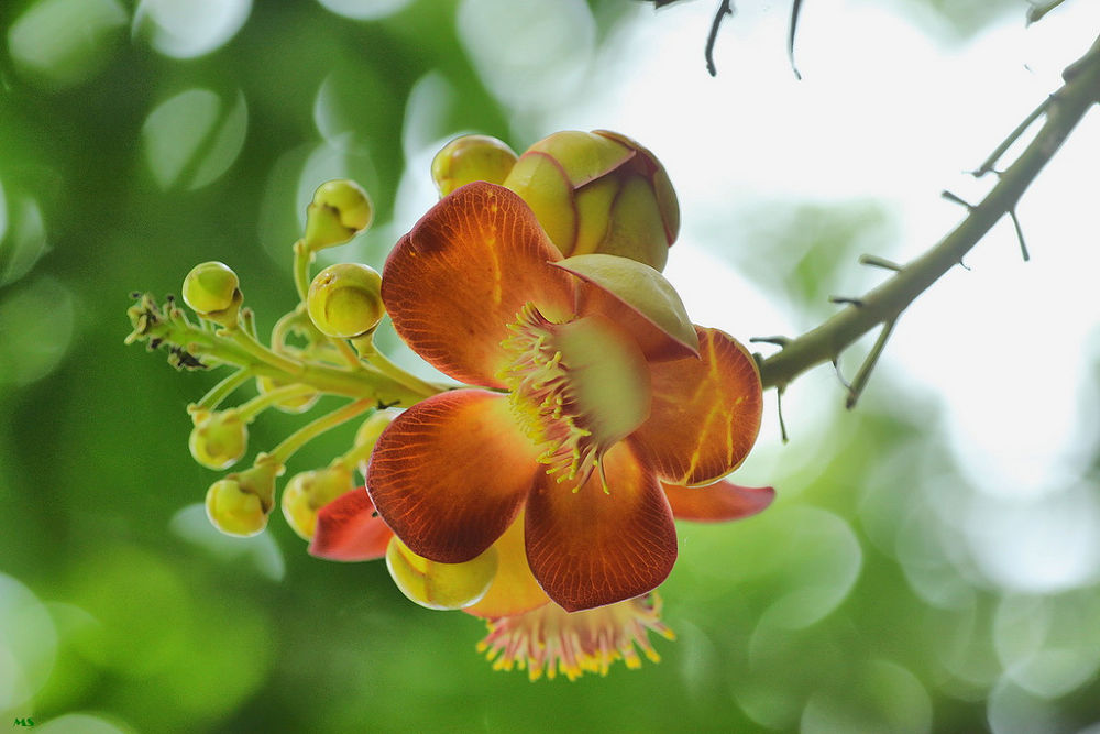 Couroupita guianensis by mahbubsobhan