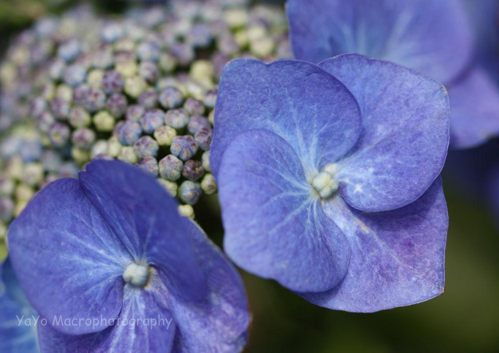 hortencias (29)-hortensia-hydrangea-purple blue by guarachera