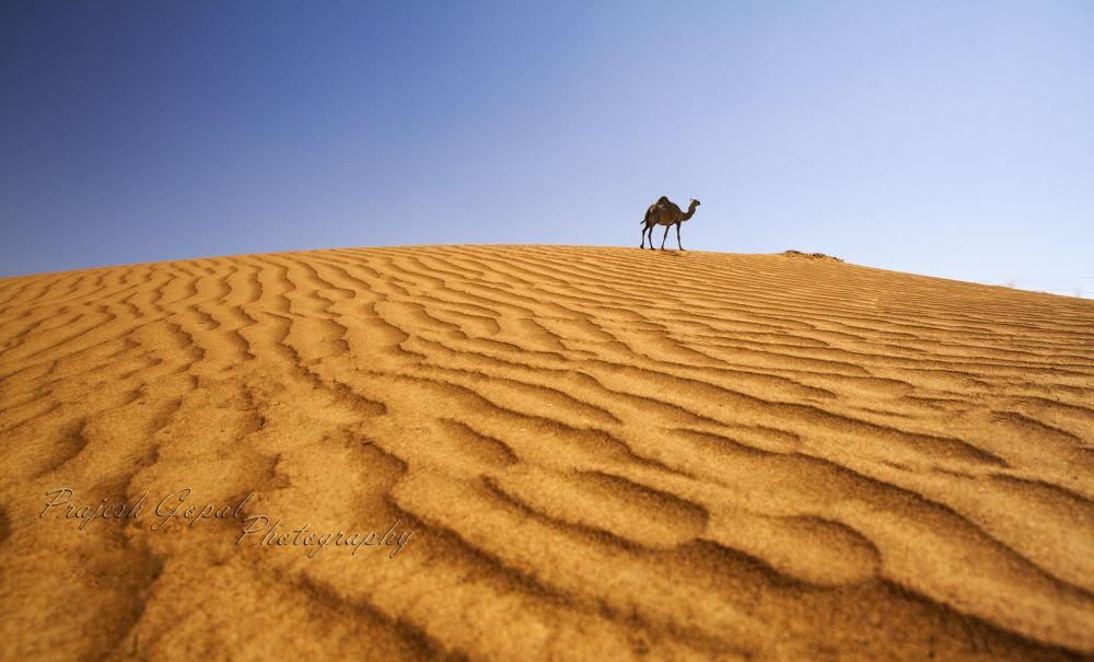 Camel by Prajeshvenugopal