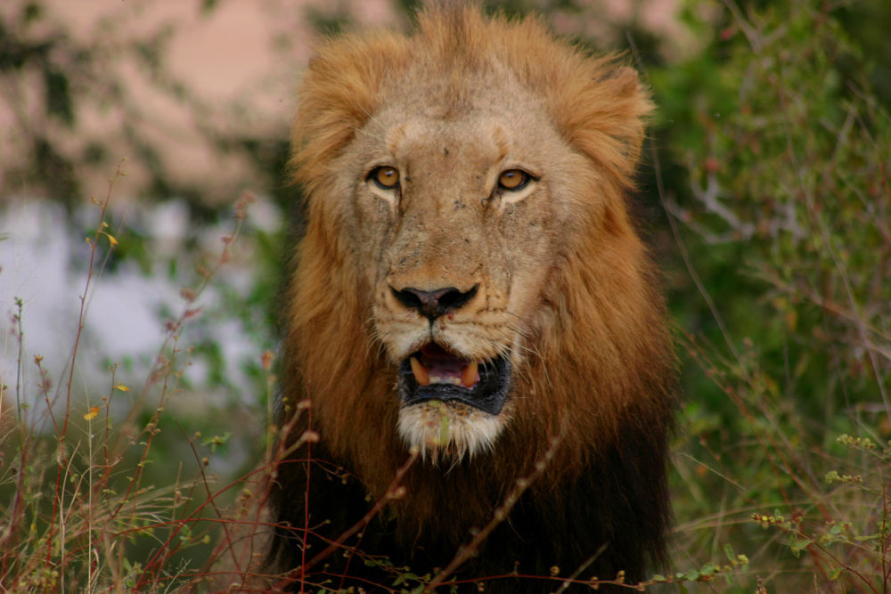 Male Lion close-up by Gunner