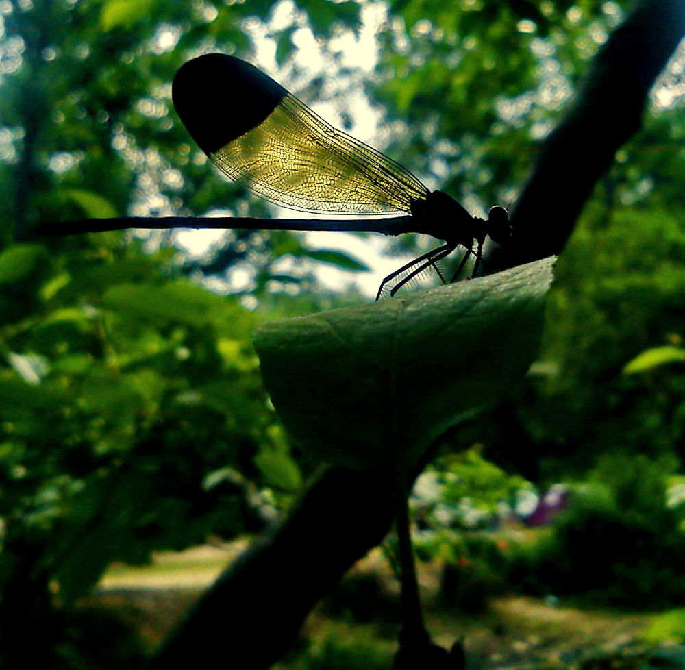 nice dragonfly by Vafaee