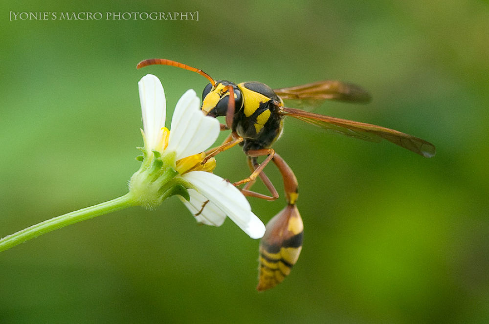 Yellow Jacket by yoniearliandisetiyawan