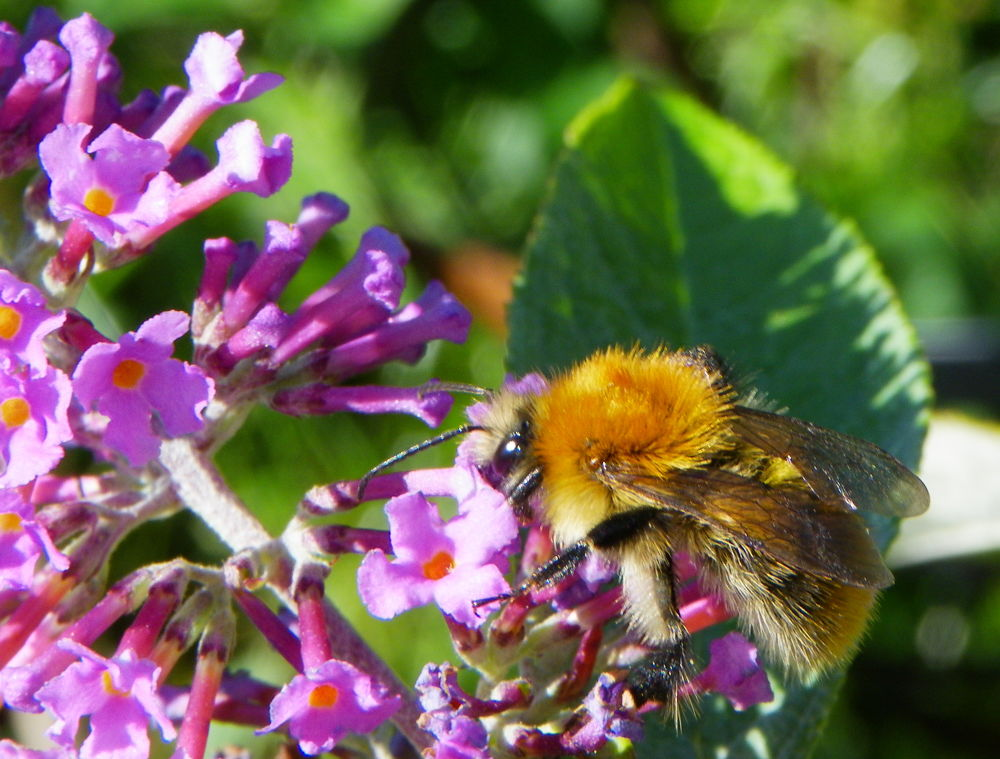 Carder Bee  by PeteB