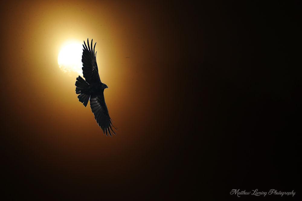 crow sun by matthew1234