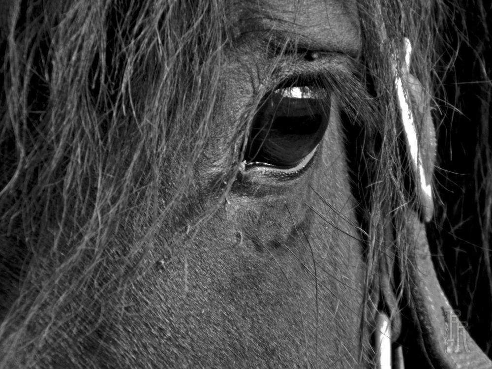 9.15.12--Horse-eye-I--BW-RR by reneeroma