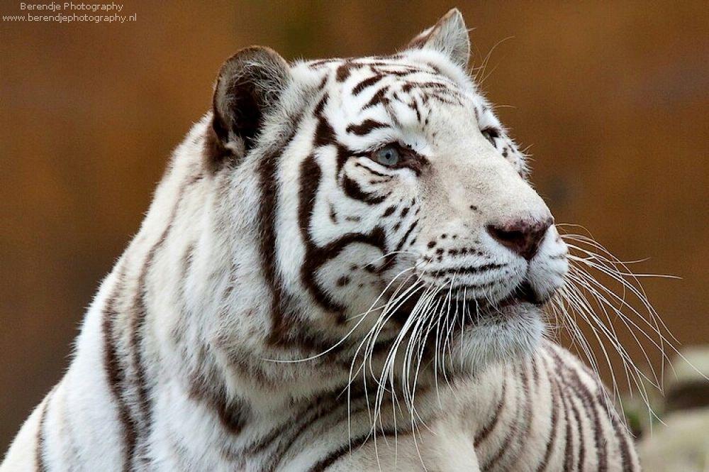 White tiger. by Brenda Passchier