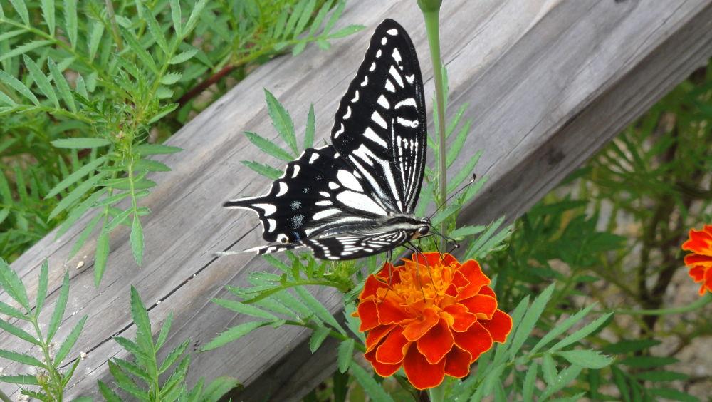 Namsan Butterfly by alf lundsten