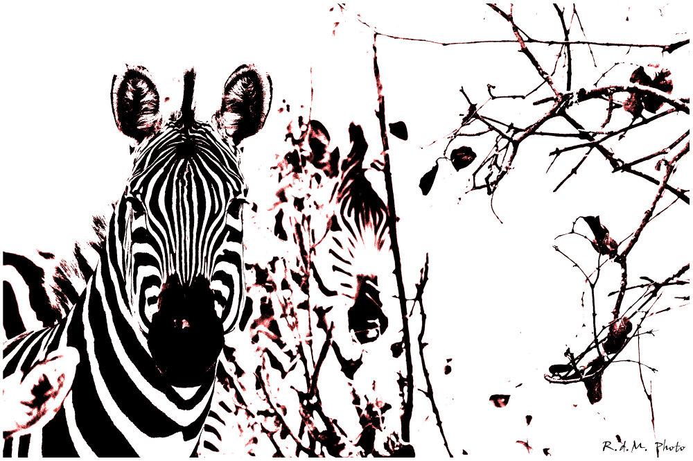 La Zebra by rdmarco69