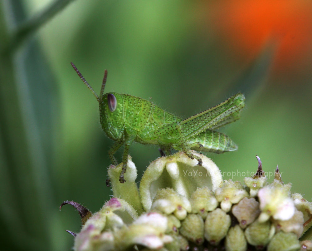 grillo (395)-cricket-green by guarachera