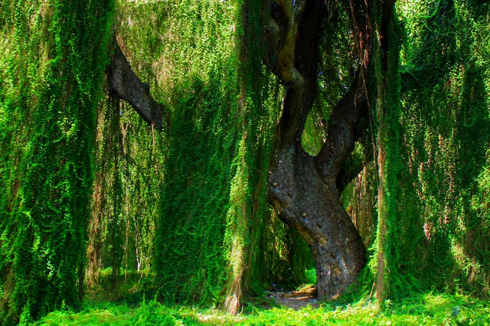 Evergreens (5) by Jorge Coromina