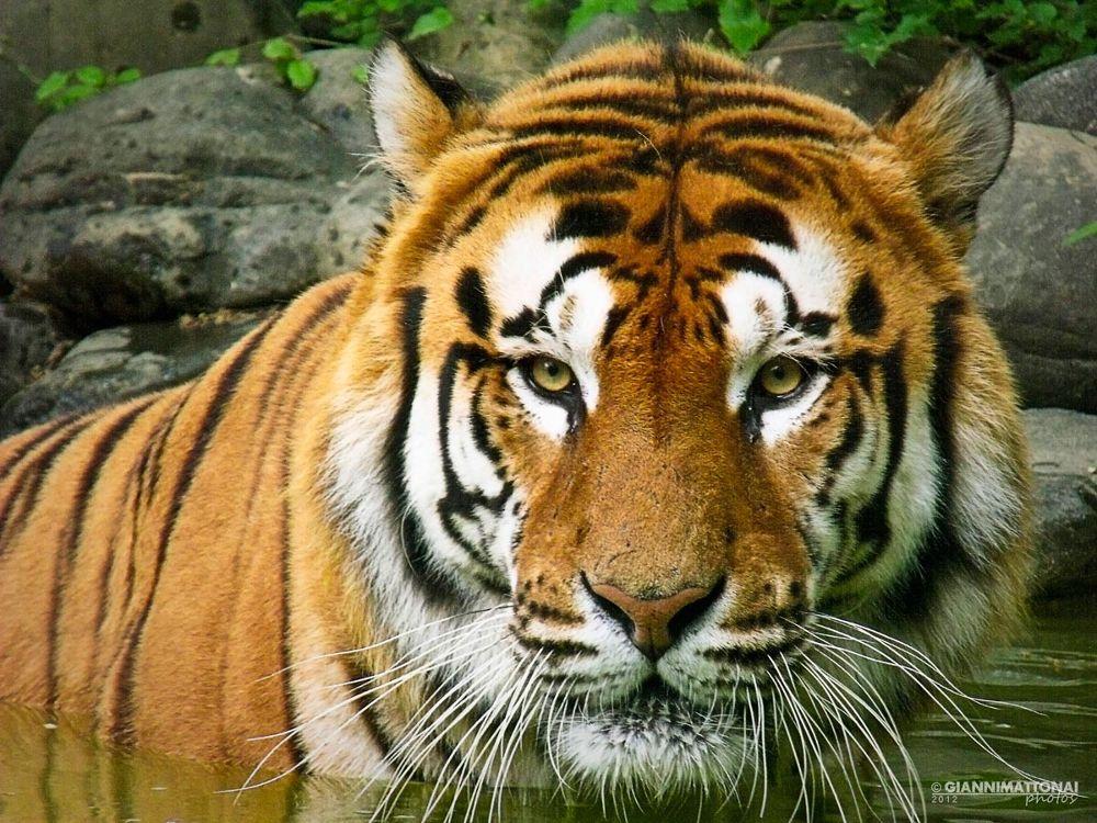 Photo in Random #nikon #italy #tiger #zoo #eyes #italia #tigre #occhi