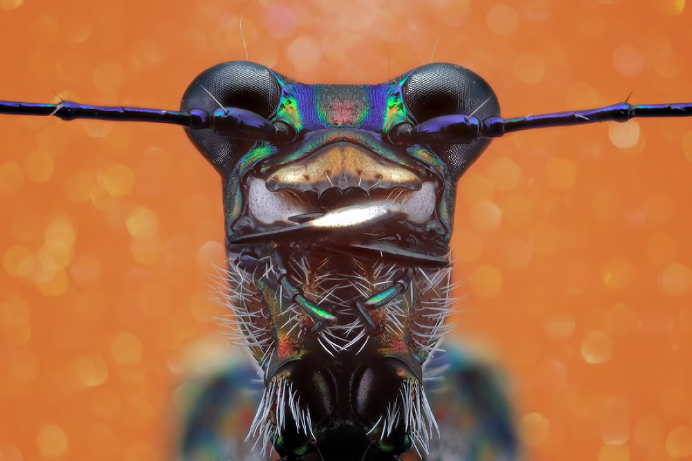 Tiger Beetle by donaldjusa