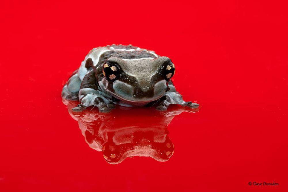 Amazon milk frog by DaveOvenden