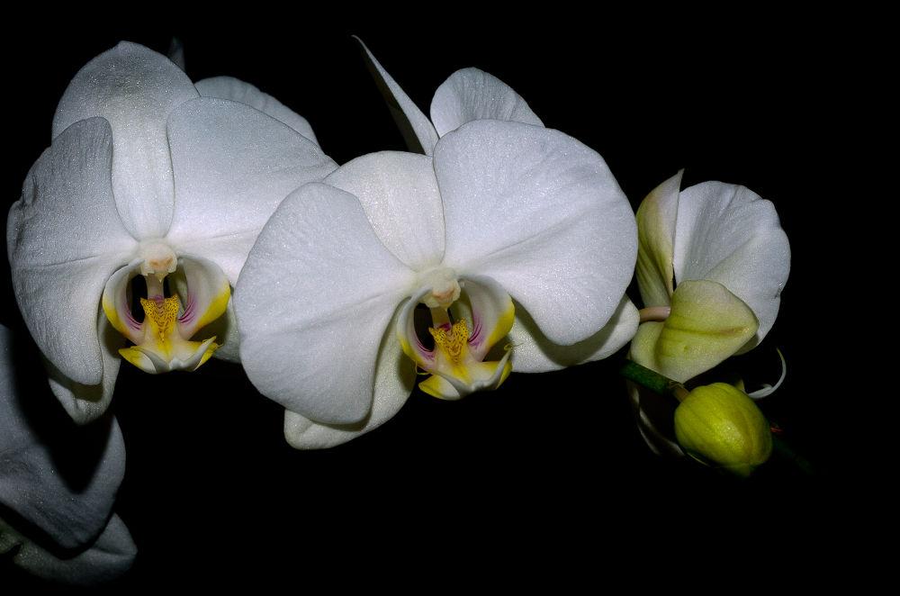 Phalaenopsis cultivar... Orchidées sur fond noir.. by photosdan